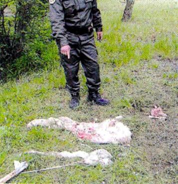agnello ucciso