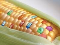 Chi coltiva OGM rischia fino a 3 anni di reclusione e 30 mila euro di multa