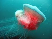 """E' tornata nel mediterraneo una delle più grandi meduse che era """"scomparsa"""" nel 1945"""