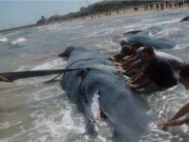 Nuovi spiaggiamenti di Cetacei in Adriatico