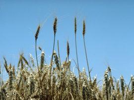 I cereali integrali contro le malattie cardiovascolari