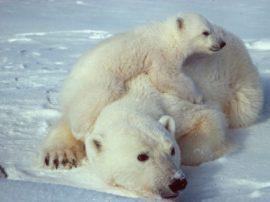 Una buona notizia per gli orsi polari, il ghiaccio della zona orientale del Polo Nord è tornato sui livelli di 20 anni fa