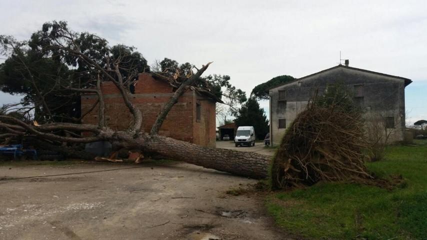 pino domestico caduto per il maltempo