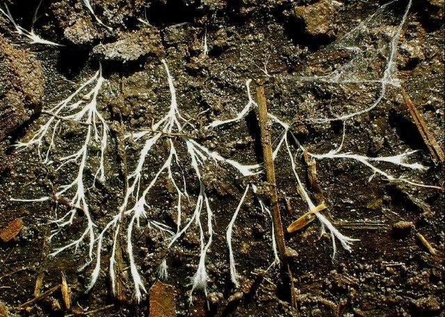 Ife fungine