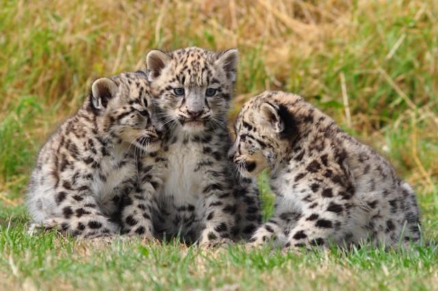 cuccioli Panthera uncia