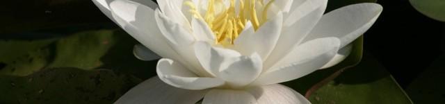 Il ritorno della ninfea bianca del lago Trasimeno, un fiore di bellezza rara, quasi estinto in natura
