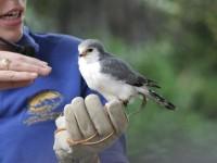 Il falco pigmeo