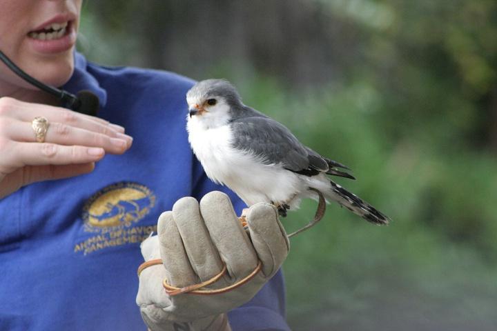 Falco pigmeo