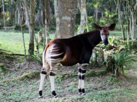 "L'okapi, un giraffide ""travestito"" da zebra"