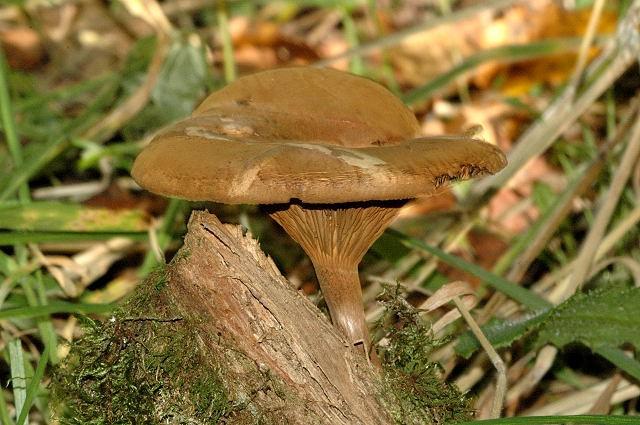 Paxillus involutus