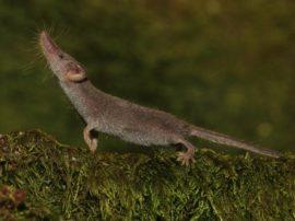 """Il """"secondo"""" mammifero più piccolo del mondo"""