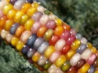 OGM in tavola: un rischio sempre presente, anche in Italia