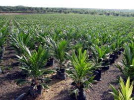 L'olio di palma, utile o dannoso alla salute?