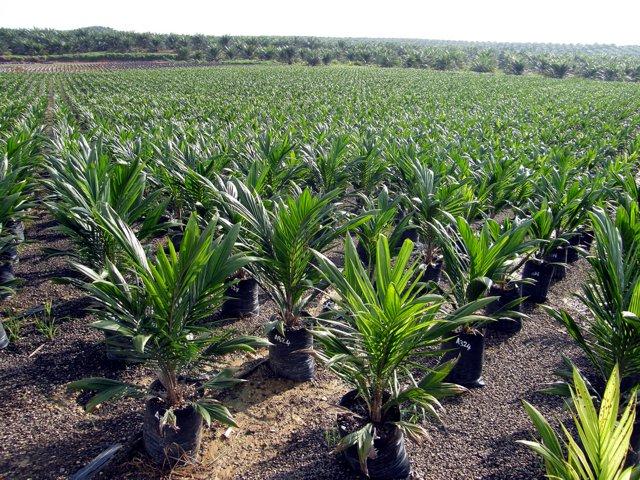 piantagione di palme da olio