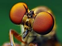 L'occhio composto degli insetti