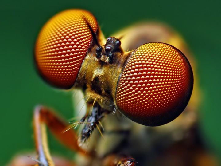 Occhi composti insetti