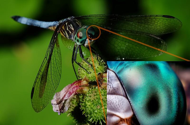occhio composto libellula