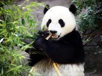 Il panda maggiore