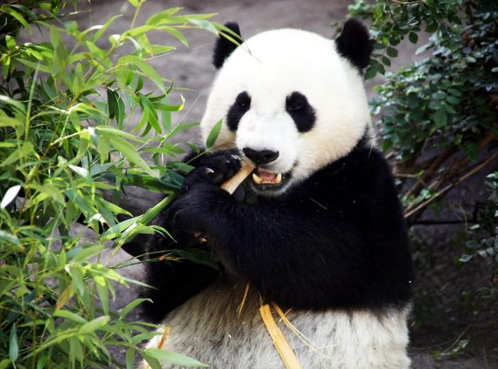 Panda maggiore
