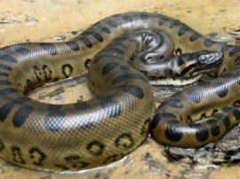 L'anaconda verde