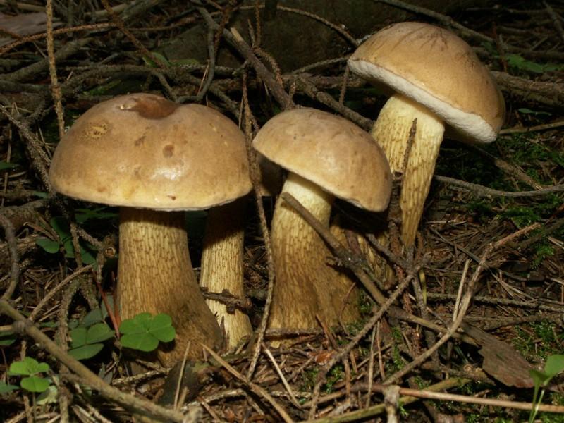 Tylopilus felleus (Bull.) P. Karst.