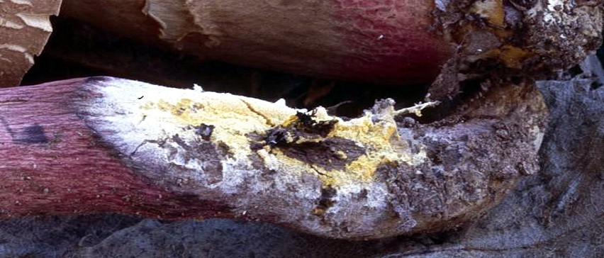 gambo carpoforo boletus parassitato
