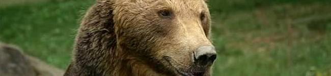 Gli orsi non vanno in letargo : fa troppo caldo