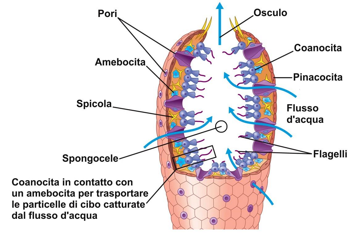 struttura tipo di una spugna (rappresentazione grafica).