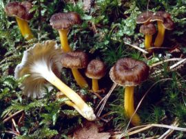 Funghi Comuni: caratteristiche principali, sosia, aspetti tossicologici