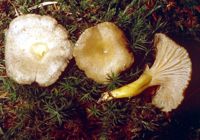 Craterellus tubaeformis var. lutescens
