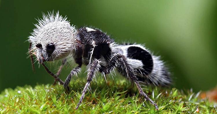 formica panda