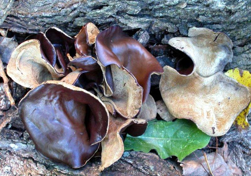Auricularia polytricha