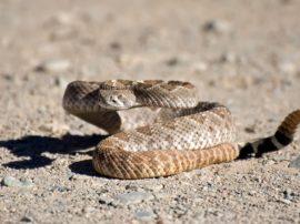 Il serpente a sonagli