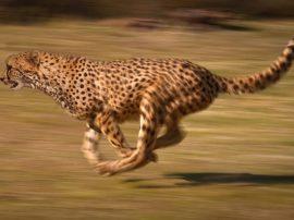 Il ghepardo (SPECIALE)