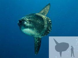 """Il pesce luna e il suo primato di """"categoria"""""""