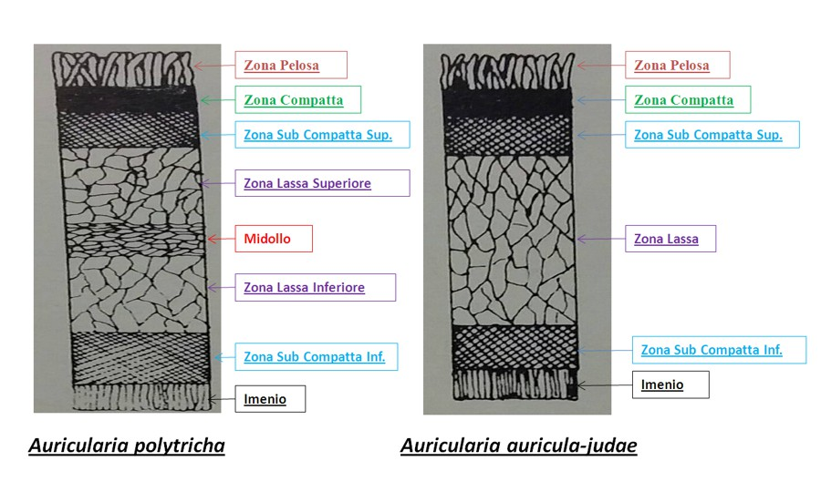 ricostruzione tessuti funghi