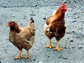 In Francia l'impegno animalista migliora il benessere delle galline ovaiole