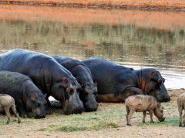 L'ippopotamo