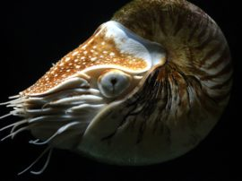 Il Nautilo (genere Nautilus)