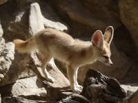 Il più piccolo canide al mondo