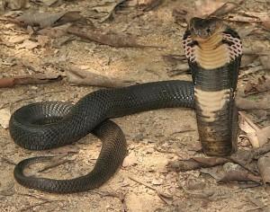 Il cobra reale