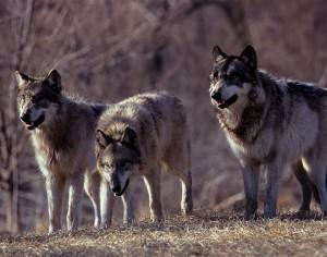 Il complesso meccanismo sociale del lupo