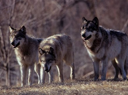 Piano lupo, finalmente esclusi gli abbattimenti controllati