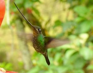 Il colibrì becco a spada