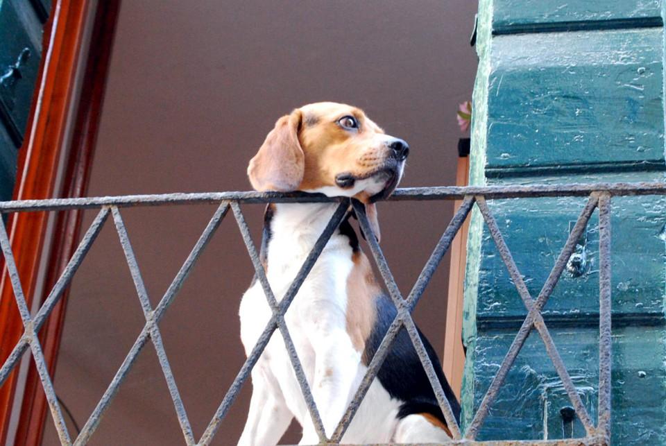 cane-su-balcone