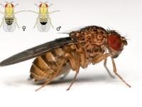 Il moscerino della frutta