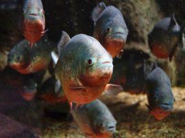 Il piranha rosso