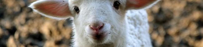 PASQUA: l'inutile strage degli agnelli