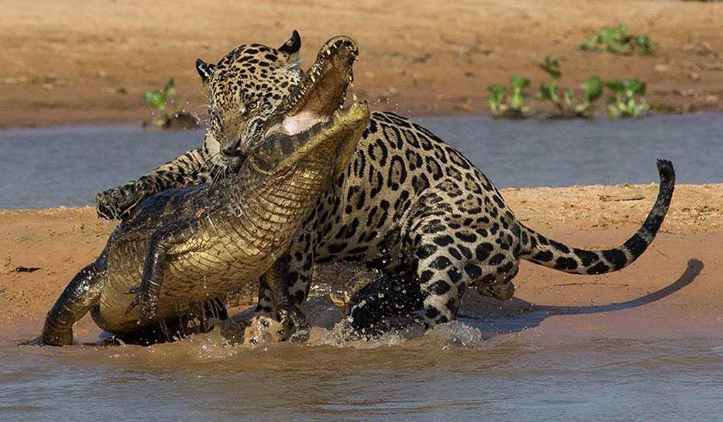 giaguaro (2)