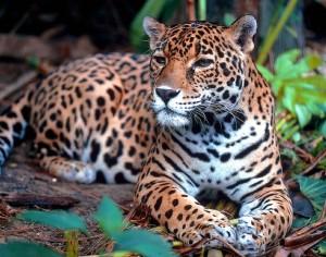 """Il giaguaro, """"colui che uccide con un balzo"""""""